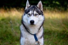 与蓝眼睛的多壳的狗画象 免版税库存图片