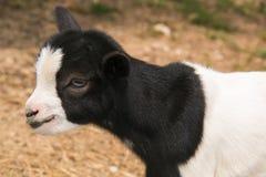 与蓝眼睛的小山羊 免版税库存图片