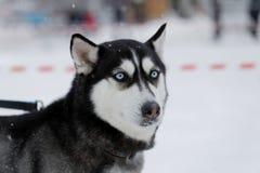 与蓝眼睛的狗的 库存照片