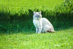 与蓝眼睛的猫坐草坪 画象 内娃化妆舞会品种 免版税库存照片