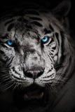 与蓝眼睛的白色老虎 免版税图库摄影