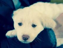 与蓝眼睛的白色Maremma小狗 免版税图库摄影