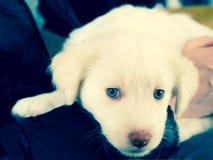 与蓝眼睛的白色Maremma小狗 免版税库存照片