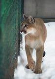 与蓝眼睛的美洲狮在雪 库存图片