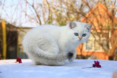 与蓝眼睛的英国shorthair小猫 免版税图库摄影