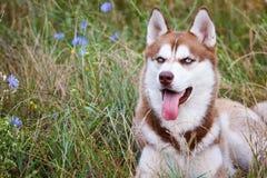 与蓝眼睛的西伯利亚爱斯基摩人在绿草 库存照片