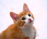 与蓝眼睛的逗人喜爱的姜小猫 免版税库存照片