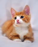 与蓝眼睛的逗人喜爱的姜小猫 免版税图库摄影
