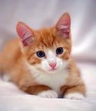 与蓝眼睛的逗人喜爱的姜小猫 库存图片