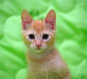 与蓝眼睛的逗人喜爱的姜小猫 免版税库存图片