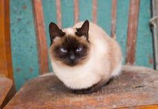 与蓝眼睛的逗人喜爱的暹罗猫 免版税库存图片