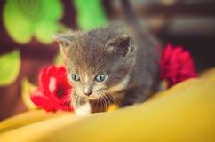 与蓝眼睛的逗人喜爱的矮小的灰色小猫 宠物 免版税库存图片