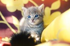 与蓝眼睛的逗人喜爱的矮小的灰色小猫 宠物 图库摄影