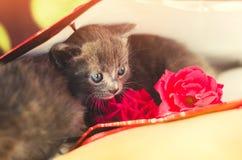 与蓝眼睛的逗人喜爱的矮小的灰色小猫 宠物 免版税库存照片