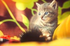 与蓝眼睛的逗人喜爱的矮小的灰色小猫 美丽的宠物 免版税库存照片