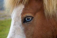 与蓝眼睛的飞溅马在冰岛 免版税库存图片