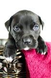 与蓝眼睛的黑小狗在柳条筐,乔治亚美国 免版税库存照片