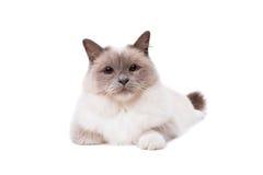与蓝眼睛的Birman猫 库存图片