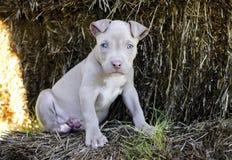 与蓝眼睛的Tan美国美洲叭喇小狗 免版税库存照片