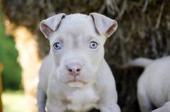 与蓝眼睛的Tan美国美洲叭喇小狗 库存图片
