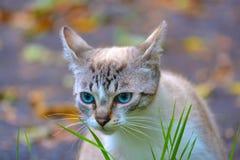 与蓝眼睛1的猫 免版税库存图片