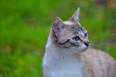 与蓝眼睛2的猫 图库摄影