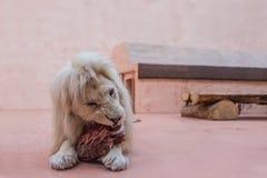 与蓝眼睛画象的白色狮子 关闭哺养在动物园里 库存图片