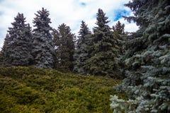 与蓝色云杉和刺柏树丛的风景 库存照片