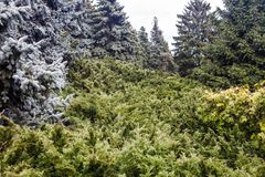 与蓝色云杉和刺柏树丛的风景 免版税库存照片