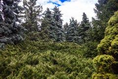 与蓝色云杉和刺柏树丛的风景 免版税库存图片