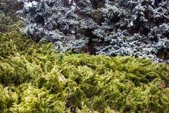 与蓝色云杉和刺柏树丛的风景 库存图片