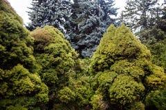 与蓝色云杉和杜松树的风景 免版税库存照片