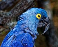 与蓝色全身羽毛的热带鹦鹉在它的栖所 免版税库存照片