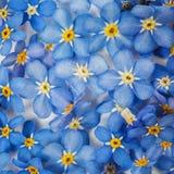 与蓝色勿忘草花的背景 免版税库存图片