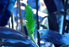与蓝色叶子的绿色姜 免版税库存照片