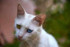 与蓝色和嫉妒的白色猫 库存照片