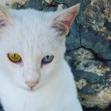 与蓝色和嫉妒的Siemic白色猫 库存图片