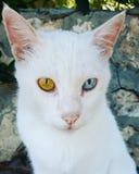 与蓝色和嫉妒的Siemic白色猫 免版税库存照片