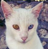 与蓝色和嫉妒的Siemic白色猫 库存照片