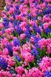 与蓝色和桃红色花混合的五颜六色的花田 库存图片