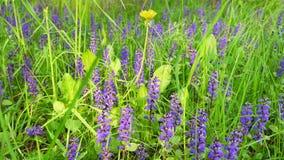 与蓝色和黄色花和草的美好的领域 影视素材