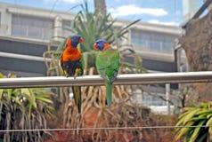 与蓝色头和橙色额嘴的绿色lorikeets坐机架 库存照片