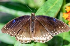 与蓝色小点的布朗蝴蝶坐一片绿色叶子 免版税图库摄影