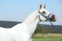 与蓝色展示三角背心的好的阿拉伯公马 免版税图库摄影