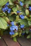 与蓝色开花的灌木 免版税库存图片