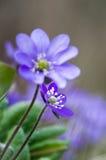与蓝色春天花的背景 免版税库存图片