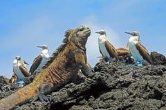 与蓝色有脚的笨蛋,笨蛋、苏拉树nebouxii和喙cristatus的海产鬣蜥蜴,在伊莎贝拉岛海岛上,加拉帕戈斯 免版税图库摄影