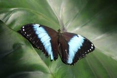 与蓝色条纹的黑蝴蝶坐深绿叶子 免版税库存照片