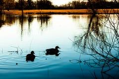 与蓝色湖和鸭子的日落风景 免版税库存照片