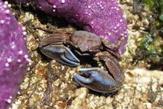 与蓝色爪的平顶螃蟹 库存图片